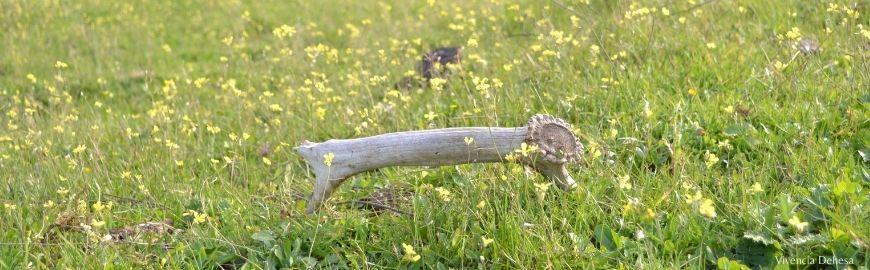 Una cuerna de ciervo rota esta sobre el pasto verde de la dehesa. Se ve muy cerca.El fondo es todo verde de campo, con florecitas amarillas muy pequeñas.