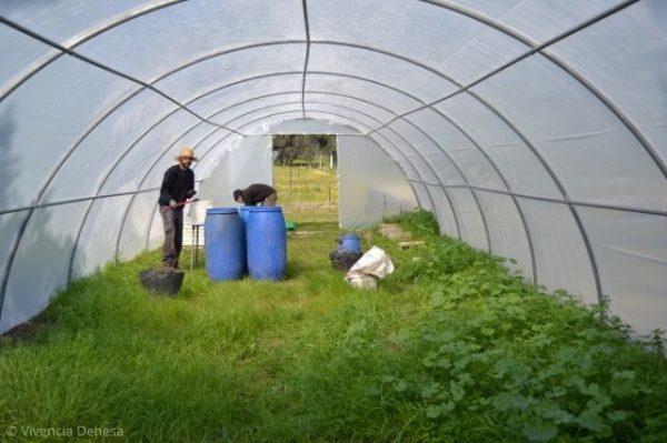 estamos dentro de un invernadero. Es suelo esta verde lleno de plantas de malvas que recogeremos Hay un agricultor, pablo, al fondo con un sombrero de paja. esta junto a unos bidones azules de plastico que es donde elaboraremos el purin. Vemos el techo de plastico del invernadero que es curvo como una cueva.