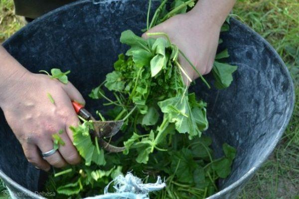 Vemos muy de cerca unas manos en un cubo con las hojas de malva verdes y esta cortándolas en trozos. El cubo es gris oscuro de plástico. Las tijeras se ven poco porque las tapan las malvas pero son con el mango rojo