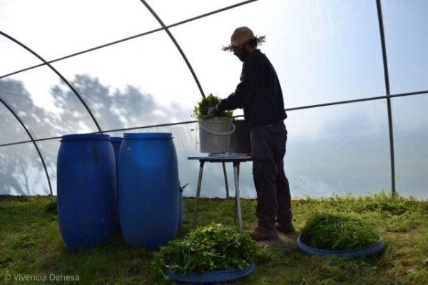 Estamos dentro del invernadero. Nuestro agricultor Pablo con su sombrero de paja aparece en contraluz con el cubo blanco que contiene las ortigas. Lo tiene sobre una pequeña mesa. A su lado estan tres bidones azules. El suelo es verde de plantas creciendo y el fondoes la pared del invernadero en tonos grises claros porque le da el sol por el lado de fuera.